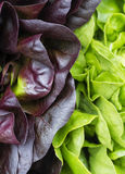 Red & green lettuce Stock Photo