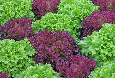 Red and Green Lettuce Together Stock Photos