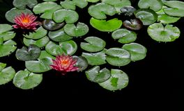 Red-and-green Lily Pads Focus Photography stock photography
