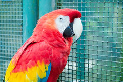 Red and green macaw Stock Photography