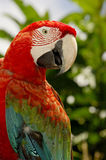 Red-and-green Macaw Royalty Free Stock Photos