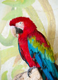 Red and Green Macaw Royalty Free Stock Image