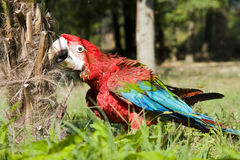 Red-and-green macaw (Ara chloroptera). Bites a palm trunk stock images