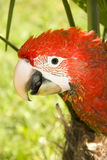 Red-and-green macaw (Ara chloroptera). Portrait of a red-and-green macaw stock photos