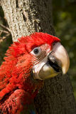 Red-and-green macaw (Ara chloroptera) Royalty Free Stock Photos