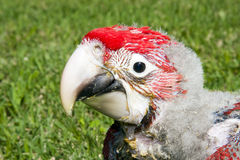 Red-and-green macaw (Ara chloroptera) chick. A very young Red-and-green macaw royalty free stock photo