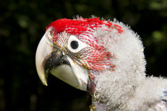 Red-and-green macaw (Ara chloroptera) chick. A very young Red-and-green macaw stock images