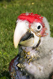 Red-and-green macaw (Ara chloroptera) chick. A very young Red-and-green macaw royalty free stock photography