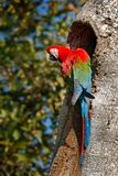 Red-and-green Macaw, Ara chloroptera, in the dark green forest habitat. Beautiful macaw parrot from Panatanal, Brazil. Bird in fli. Ght. Action wildlife scene Stock Images