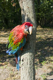 Red-and-green macaw (Ara chloroptera) on tree. Red-and-green macaw (Ara chloroptera) on a tree trunk royalty free stock image