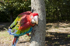 Red-and-green macaw (Ara chloroptera) on a tree. Trunk stock image