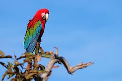 Red And Green Macaw, Ara Chloropterus, Buraco Das Araras, near Bonito, Pantanal, Brazil. Red And Green Macaw, Ara Chloropterus, Buraco Das Araras, near Jardim stock photos