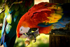 Red-and-green macaw (Ara-chloropterus) Royalty Free Stock Image