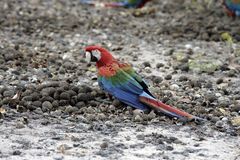 Red-and-green macaw, Ara chloropterus Stock Photo
