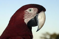Red-and-green macaw, Ara chloropterus Royalty Free Stock Photo
