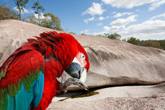 Red and green  Macaw  bird Royalty Free Stock Image