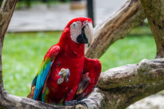 Red-and-green macaw Stock Photo