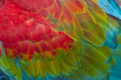 Red-and-green Macaw feathers Stock Image