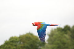 Red-and-green macaw Royalty Free Stock Photo