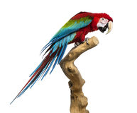Red-and-green macaw perched on a branch, isolated Royalty Free Stock Image