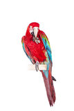 Red-and-green Macaw on white background Stock Photos