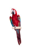 Red-and-green Macaw on white background Royalty Free Stock Photos