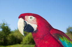 Red-and-green Macaw at wildness. Closeup of Red-and-green Macaw at wildness Stock Images