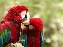 Red-and-green macaw Royalty Free Stock Photography