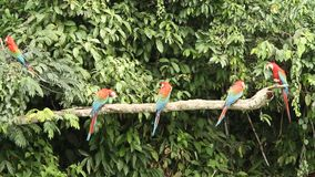 Red-and-green Macaws Ara chloropterus on branch fighting in Manu National Park, Peru, parrots gathering near clay lick. Red-and-green Macaws Ara chloropterus on stock video