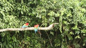 Red-and-green Macaws Ara chloropterus on branch fighting in Manu National Park, Peru, parrots gathering near clay lick