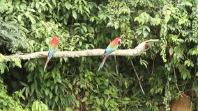Red-and-green Macaws Ara chloropterus on branch fighting in Manu National Park, Peru, parrots gathering near clay lick. Red-and-green Macaws Ara chloropterus on stock footage