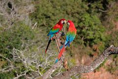 Red And Green Macaws, Ara Chloropterus, Buraco Das Araras, near Bonito, Pantanal, Brazil. Red And Green Macaws, Ara Chloropterus, Buraco Das Araras, near Jardim royalty free stock images