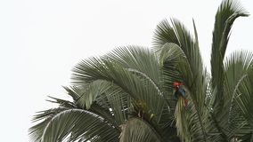 Red-and-green Macaws Ara chloropterus grooming its feathers on palm tree in Manu National Park, Peru
