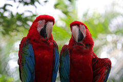 Red-and-green macaws Royalty Free Stock Photos