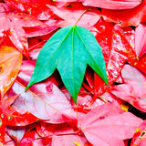 Red & Green Maple leafs Stock Photo