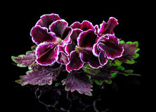 Red and green nettle leaf with velvet purple geranium flower iso Royalty Free Stock Images