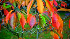 Red Green and Orange Leaves Royalty Free Stock Photo