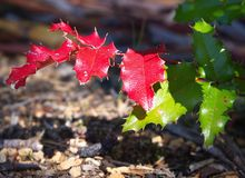 Red and green Oregon Grape leaves stock photo