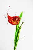 Red and green paint made beautiful lily flower Royalty Free Stock Photography