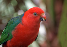 Red and Green Parrot. With starry eyes Royalty Free Stock Photography