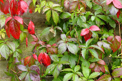 Red and green parthenocissus leaves Royalty Free Stock Images