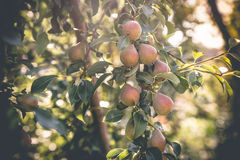 Red-green pears ripen in the summer. In the garden Royalty Free Stock Image