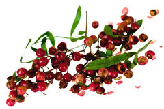 Red and green peppercorn berries on vine isolated Royalty Free Stock Photos