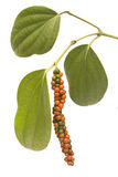 Red and green peppercorn berries on vine isolated Royalty Free Stock Image