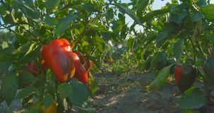 Red and green peppers growing in the garden at agriculture sunset. stock footage