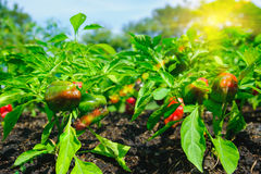Red and green peppers growing in the garden with selective focus Stock Images