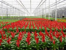 Red with green in perspective in a greenhouse Royalty Free Stock Images