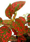 Red green plant leaves. In detail Royalty Free Stock Photos