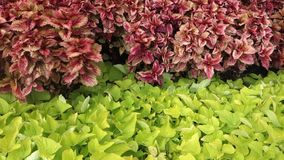 Red and Green Plants stock video footage