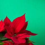 Red and green poinsettia plant for Christmas isolated on green teal background Royalty Free Stock Photo